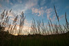 Prairie Grasses at sunset