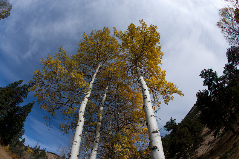 Aspens - Rocky Mountain National Park