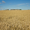 Fields of gold nr Mexborough in South Yorkshire