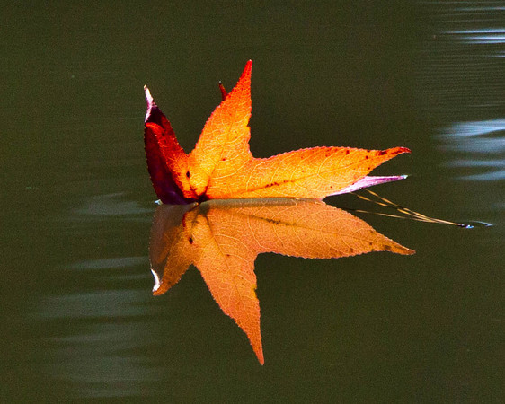 Fall leaf reflecting in pond