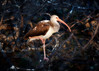 Juvenile Ibis in the complexity of branches of a nesting colony in sunset light
