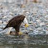Skagit Bald Eagle 8 12-2014