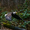 Skagit Bald Eagle 1 12-2014