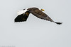 Skagit Bald Eagle 9 12-2014