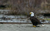 Skagit Bald Eagle 2 12-2014