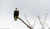 Skagit Bald Eagle 4 12-2014