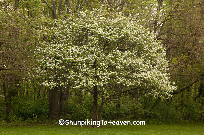 Blossoming Pear Tree, Madison County, Indiana