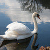 Swan at Stourhead Gardens, Wiltshire