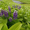 Arctic Lupine and False Hellebore form a foreground with Crescent Lake and the Kenai Mountains in the background.