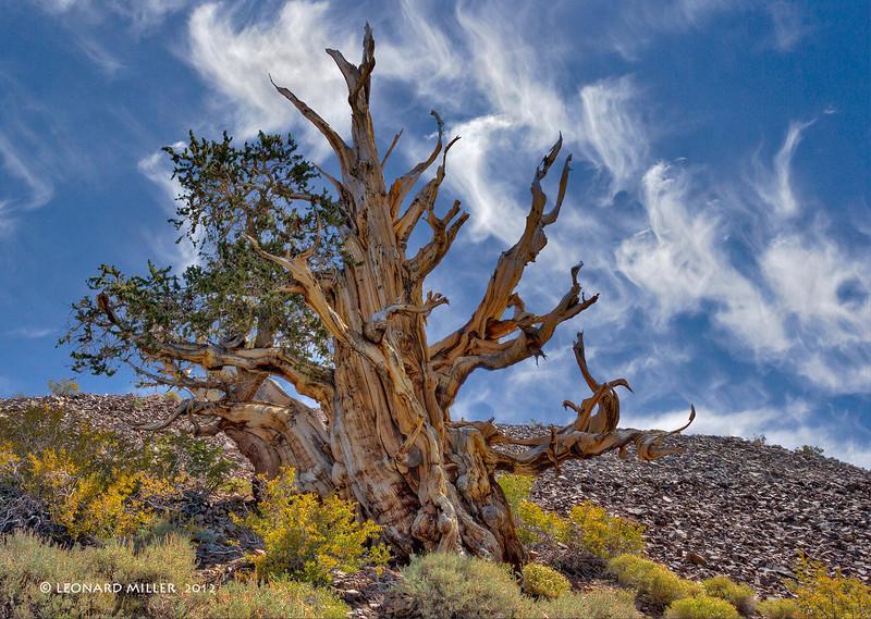 Bristlecone Pine - White Mtns. California
