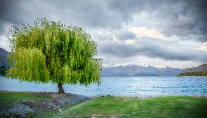 A Tree in Wanaka but not the tree