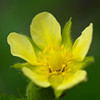 Golden Yellow Cinquefoil