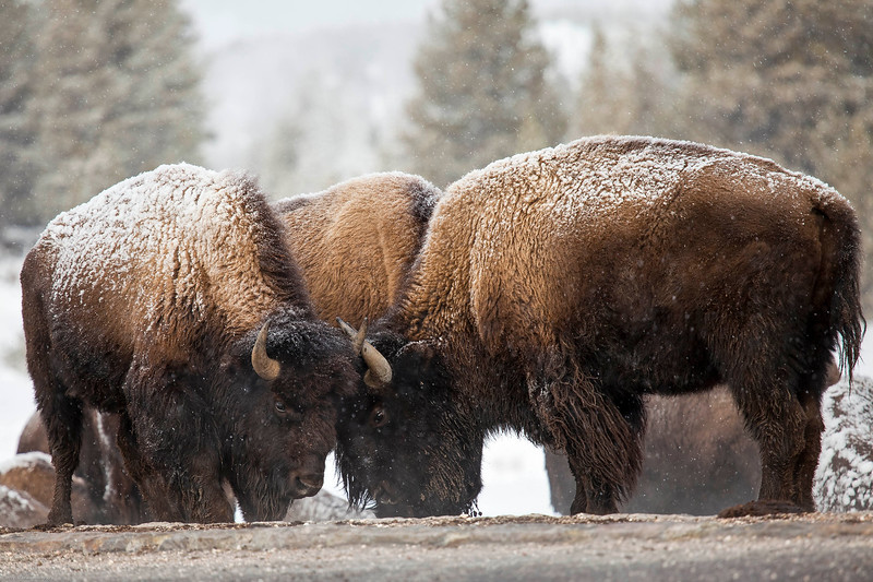 Yellowstone Bison