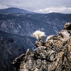 Beartooth Mountain Goat