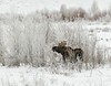 Moose browsing on icy willows