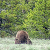 Grand Teton National Park.  Mother grizzly with three cubs.
