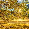 """Mist in Cooks Meadow in Yosemite"" From my photo shoot this past week with the fall colors and backlit leaves as the sun is rising over the peak. The mist in Cooks Meadow and the fall colors was just tranquil! I found the backlit leaves<br /> and curvy branches twisting with the leaves! Did you find the hidden treasure in the top left of the photo?! Half Dome is tucked in the trees. Enjoy! John Copyright John Harrison Photography"