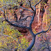 Cottonwood color on the S-shaped tree