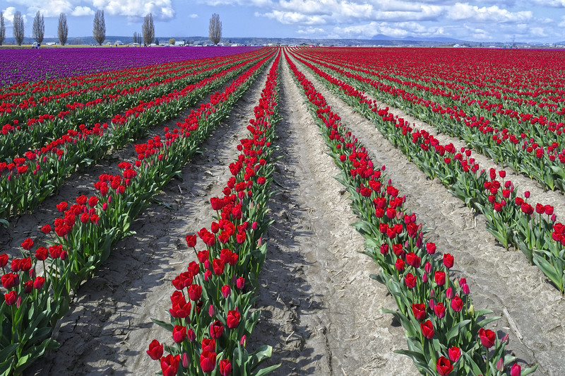 Tulip Field, Skagit Valley, Washington State