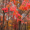 Maple Forest in West Virginia
