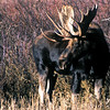 A bull moose in Utah. Photo by Utah Division of Wildlife Resources.