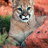 Young cougar in southwest Utah's redrock country
