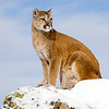 Utah cougar in snow. Photo by Lynn Chamberlain, Utah Division of Wildlife Resources