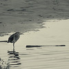 """""""Stand""""<br /> (Juv. Nycticorax nycticorax)"""