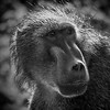 Baboon, Umfolozi Game Reserve, South Africa