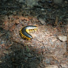 Yellow millipede