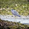 Heron At Low-tide