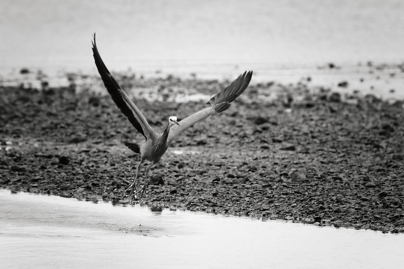 Heron Takes-off