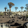 Quivertree forest in southern Namibia
