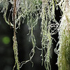 Tree moss on the west coast of Canada