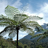 Tree ferns in the interior of Sabah, Malaysia