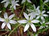 Star of Bethlehem - Ornithogalum umbellatum