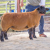 The top price, a gimmer from J. G. Douglas of Fraserburgh, Aberdeenshire sold for 5,500 gns.