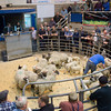Ewes and lambs selling for £38 per head.