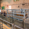 All animals pass through the new weighing system before sale.