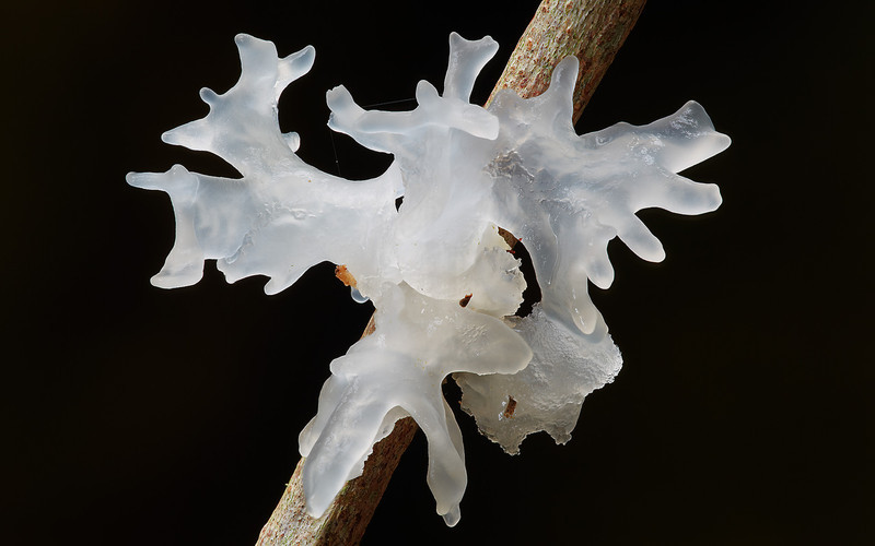 Tremella fimbriata