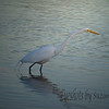 The sun was setting, and it's Egret dinner time.