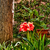 red-amaryllis-1