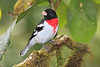 Rose_Breasted_Grosbeak_Los_Quetzales0001