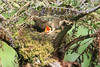 Mountain_Robin_With_Chick_Los_Quetzales0007
