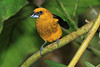 Black-thighed_Grosbeak_Los_Quetzales0019