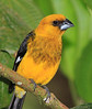 Black-thighed_Grosbeak_Los_Quetzales0020