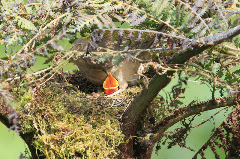 Mountain_Robin_With_Chick_Los_Quetzales0008
