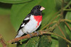 Rose_Breasted_Grosbeak_Los_Quetzales0002