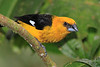 Black-thighed_Grosbeak_Los_Quetzales0018