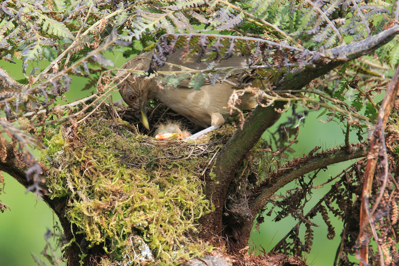Mountain_Robin_With_Chick_Los_Quetzales0006